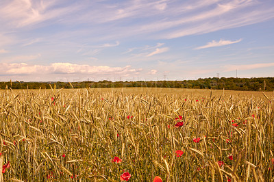Buy stock photo A photo of poppies in the countryside in early summer - Denmark