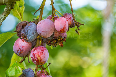 Buy stock photo Plum ans wasp