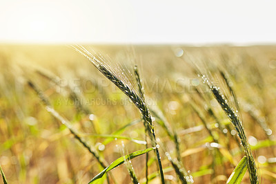 Buy stock photo Still life shot of a wheat field during the day