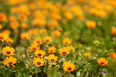 Buy stock photo Still life shot of orange daisies in a field during the day