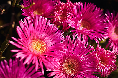 Buy stock photo Still life shot of purple daisies in a field during the day