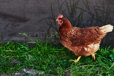 Buy stock photo Cropped shot of a rooster on a farm
