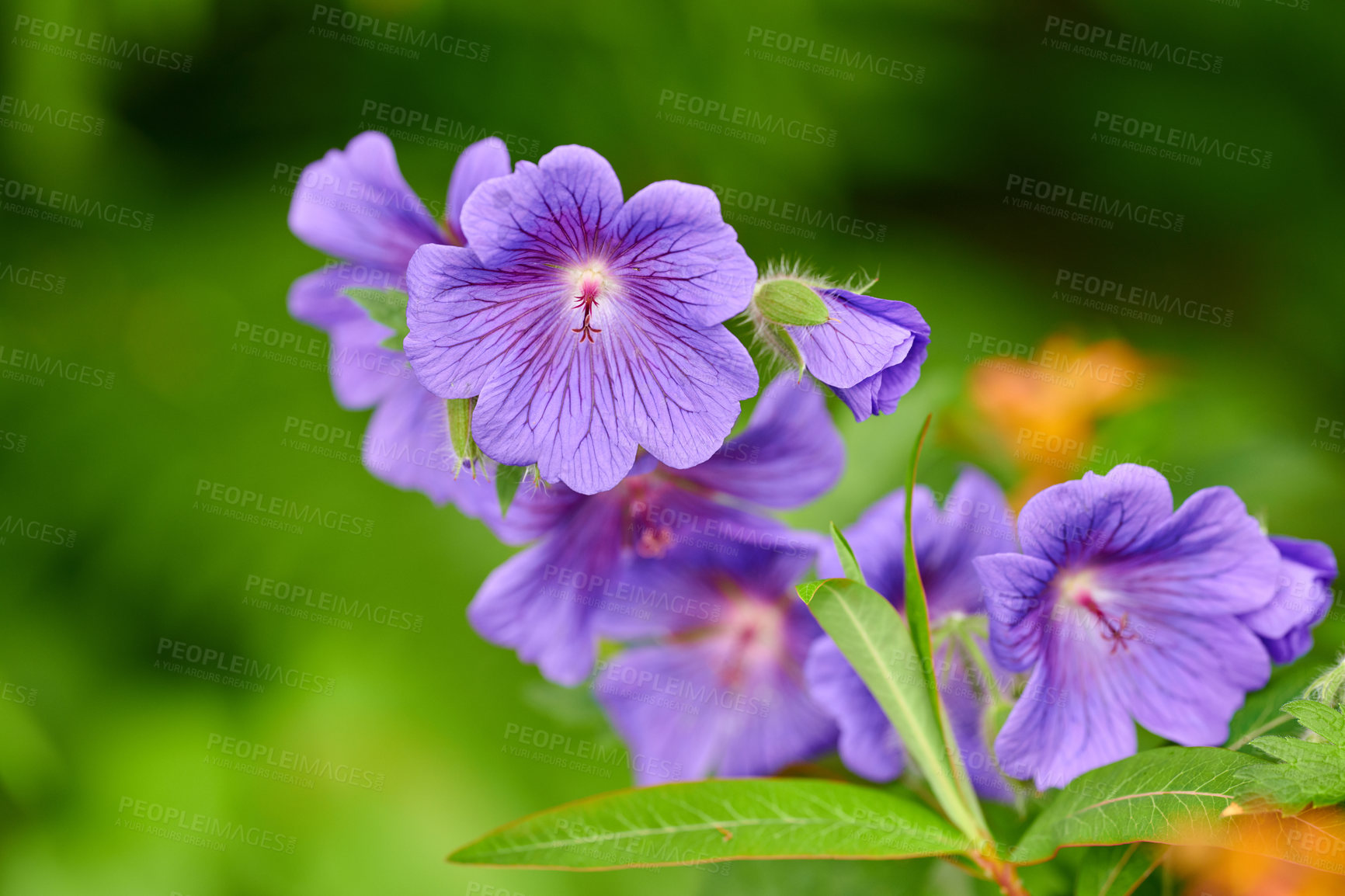Buy stock photo A photo of beautiful Blue flowers in springtime