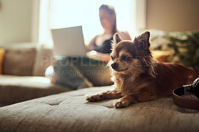 Buy stock photo Shot of a chihuahua sitting on the sofa with a woman using a laptop in the background