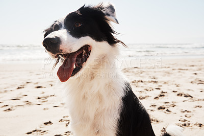 Buy stock photo Cropped shot of an adorable young Border Collie on the beach