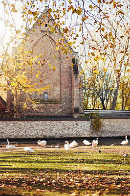Buy stock photo Cropped shot of a group of swans and ducks near a river during a sunny day in Bruges