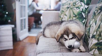 Buy stock photo Shot of an adorable husky puppy chewing on a decoration while his owners have a Christmas party