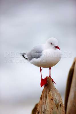 Buy stock photo A photo of a seagull