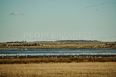Buy stock photo Shot of a flock of snow geese flocking around a lake outdoors in the countryside