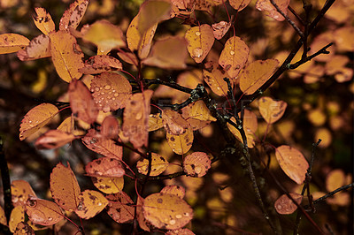 Buy stock photo Shot of wet orange leaves on a rainy day outdoors in nature