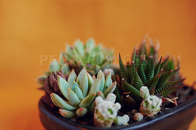 Buy stock photo Studio shot of potted succulents against a colored background
