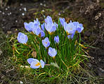 Beautiful crocus in the spring