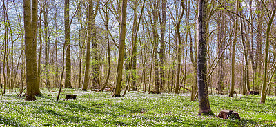 Buy stock photo Springtime, anemones and forest
