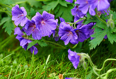 Buy stock photo A photo of blue Geranium flowers