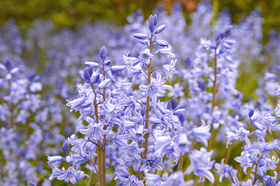 Buy stock photo Bluebell - Scilla siberica, blue flowers in late spring