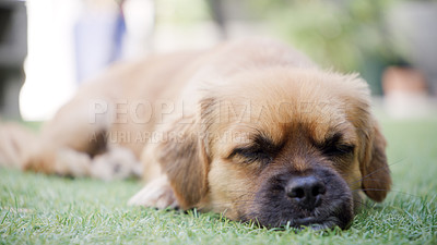 Buy stock photo Shot of an adorable dog on the grass in a garden at home