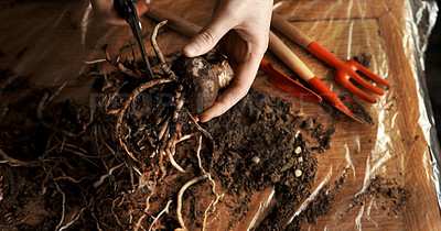 Buy stock photo Cropped shot of an unrecognizable woman preparing a root to be repotted