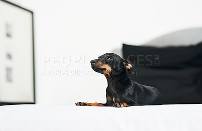 Buy stock photo Shot of an adorable dog relaxing on a bed at home