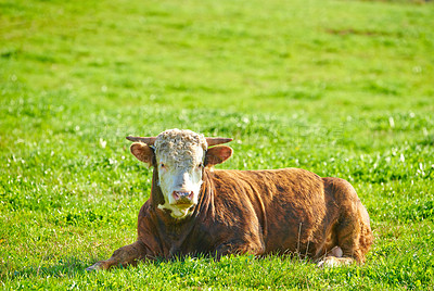 Buy stock photo Hereford cow standing in farm pasture