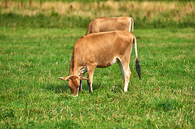 Buy stock photo Brown cows standing in farm pasture