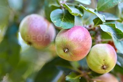 Buy stock photo Apple-picking has never looked so enticing -  a really healthy and tempting treat.