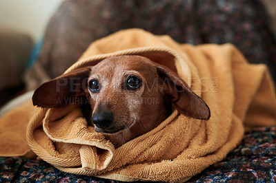 Buy stock photo Shot of an adorable dog drying off under a towel on the bed after his bath at home