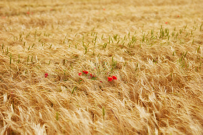 Buy stock photo A photo of a vibrant country field in harvest