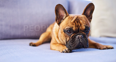 Buy stock photo Shot of an adorable dog resting on a couch at home