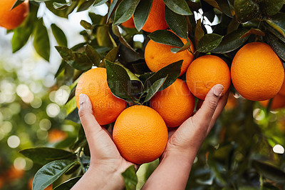 Buy stock photo Cropped shot of an unrecognizable woman picking oranges from an orange tree in an orchard