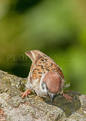 Buy stock photo A telephoto of a beautiful sparrow