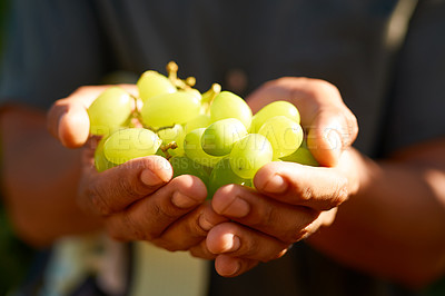 Buy stock photo Cropped shot of an unrecognizable farmer holding white grapes