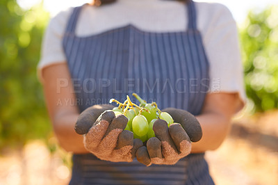 Buy stock photo Shot of a young farmer harvesting white grapes in her vineyard
