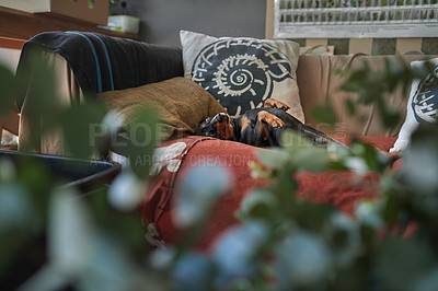 Buy stock photo Shot of a dog laying on the couch at home