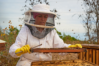 Buy stock photo Shot of a beekeeper opening a hive frame on a farm.