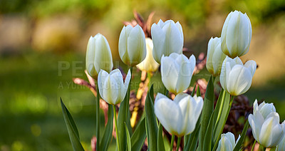 Buy stock photo A photo of beautiful white tulips in the garden before sunset in early springtime