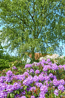 Buy stock photo A series of photos of rhododendron in garden