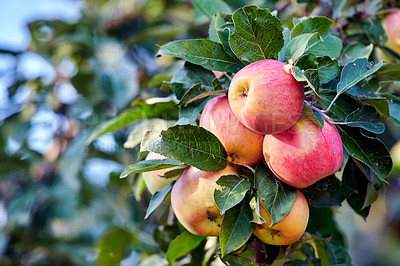 Buy stock photo A photo of tasty and beautiful applesFresh apples in natural setting