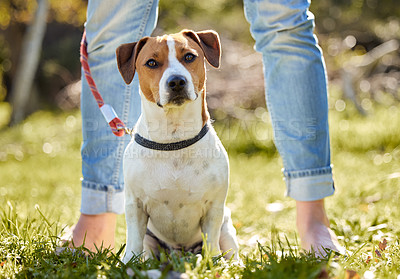 Buy stock photo Full length shot of an adorable young Jack Russell standing outside on a field with his unrecognizable owner