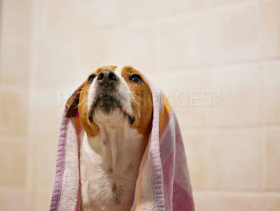 Buy stock photo Cropped shot of an adorable young Jack Russell sitting in the bathroom at home with a towel on his head
