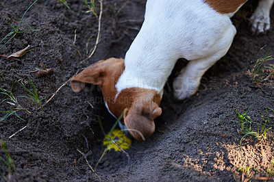 Buy stock photo High angle shot of an adorable young Jack Russell digging a hole in the ground outside